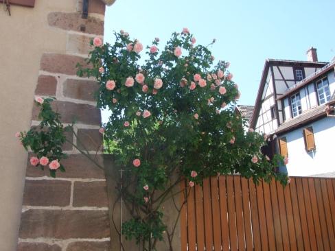 Roses UNADJUSTEDNONRAW_thumb_1e6e