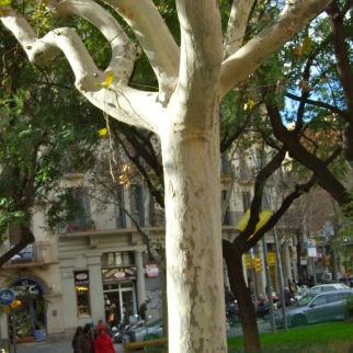 Beautiful pale plane trees adorn the centre of Barcelona