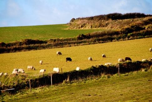 Sheep at the Lizard