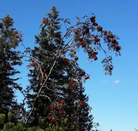 Rowan berries - Reit-im-W