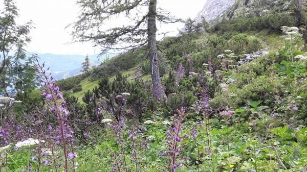 Schneibstein flowers